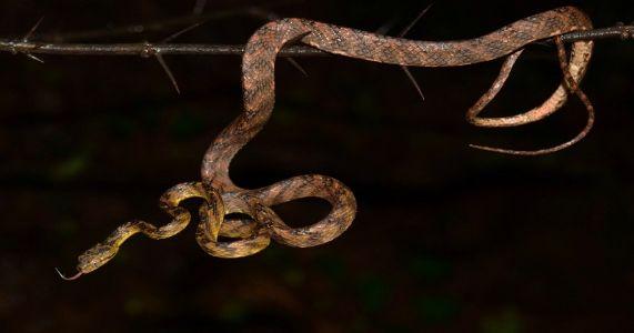 कोयनेच्या खोऱ्यातून सापाच्या नव्या प्रजातीचा उलगडा