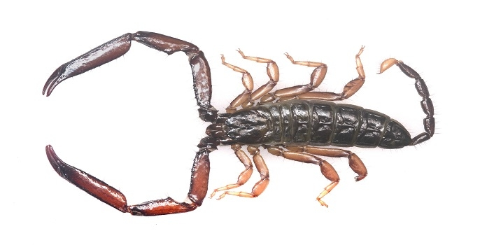 scorpion_1H x