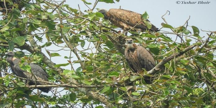 vulture _1H x