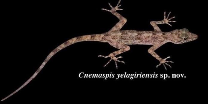gecko _1H x W