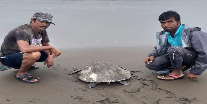 turtle _1H x