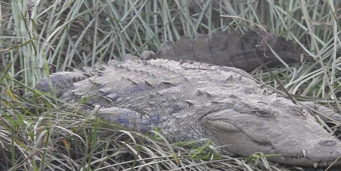crocodile_1H