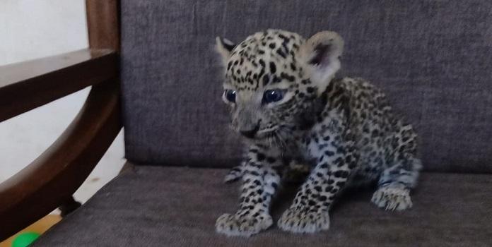 leopard cub _1