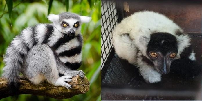 lemur_1H x W: