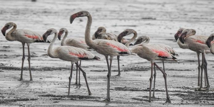 flamingo _1H
