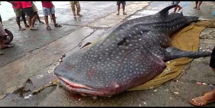 whale shark _1