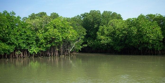 mangrove_1H x
