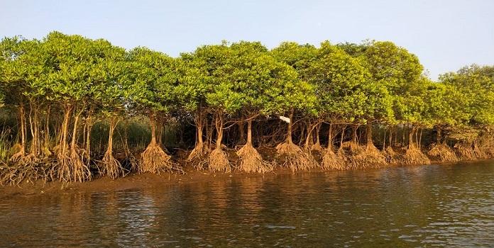 mangrove _1H