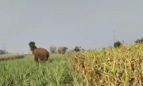 Video : शेतात शिरलेल्या हत्तीचा जमावाने केला पाठलाग अन्...