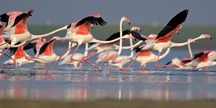 flamingo_1H x